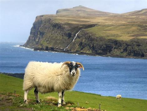 Scottish Sheep (Small)